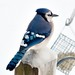 A Blue Jay on our feeder post. Photo: Jim Bullard, West Stockholm NY