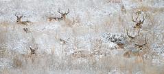 White-tailed_deer_55 (DawnWilsonPhotography) Tags: winter snow cold color nature animal animals mammal colorado snowy wildlife deer antlers environment dozen does buck muledeer bucks herd refuge whitetaileddeer lyingdown commercecity odocoileusvirginianus odocoileushemionus rockymountainarsenalnationalwildliferefuge lieingdown