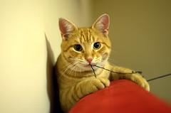 Tiger! (trelistonisi) Tags: orange pet playing eye cat nose eyes nikon play tabby tiger ears ear mustache