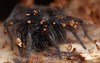 6 mm parson spider (ophis) Tags: araneae parsonspider herpyllusecclesiasticus gnaphosidae herpyllus