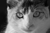cat in B&W (susodediego ) Tags: bw cat chat bn gato katze gatto soe lúa кошка thegalaxy frameit nikkor70200mmf28vr nikontc17eii nikond300 gününeniyisi hellopussycat mygearandme ringexcellence rememberthatmomentlevel1 magicmomentsinyourlife rememberthatmomentlevel2 rememberthatmomentlevel3 vpul01