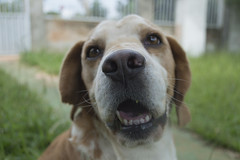focinho (hugo.ayres) Tags: dog macro beagle yard backyard nikon raw focinho cs6 d3200