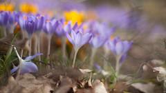 (martinalinnea) Tags: mars crocus blommor springflowers krokus minolta50mmf17 alafors lebrcke mygarden2014