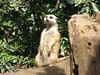 "MEERKAT 180_137 (Dancing with Ghosts Graphics) Tags: copyright cute animal mammal meerkat pups small gang mob 180 clan mongoose angola sentry suricate burrows suricatta desert"" diurnal 2013 fawncolored herpestid iteroparous ""kalahari dwgg ""namib debbrawalker feliform dancingwghosts ""suricata suricatta"" ""botswana"" oraging siricata"" majoriae"" iona"""