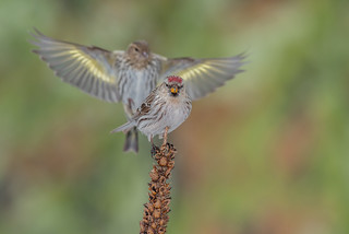 Redpoll and Pine siskin