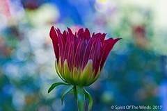 "New Dahlia (jimgspokane) Tags: dahlias duncangarden manitopark flowers spokanewashingtonstate ""nikonflickraward"""