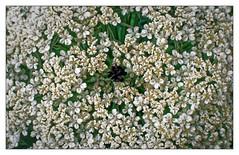 Vol au dessus d'une fleur de carotte (Jean-Marie Lison) Tags: v700 scannégatif carottesauvage fleur ombellifère