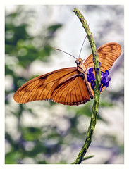 Butterfly on a Flower (Digital Wanderings) Tags: flame butterfly roundhaypark orange feeding d5300