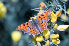 Comma butterfly (Happy snappy nature) Tags: commabutterfly orange colourful closeup detail flower nature wildlife outdoors oakengateswoods telford shropshire canon80d canon55250stm sunnyday insect