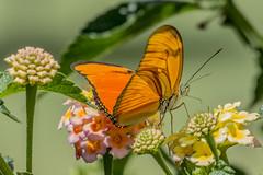 Julia Butterfly in my garden (PriscillaBurcher) Tags: dryasiulia juliabutterfly juliaheliconian theflame flambeau mariposaflama nymphalidae butterfliesfromcolombia mariposasdecolombia l1030490
