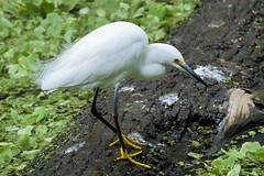 Snowy Egret (Egretta thula) (Susan Roehl) Tags: corkscrewswampsanctuary southwestflorida usa snowyegret egrettathula smallegret white bird animal outdoors closetohome onceendangered sueroehl lumixdmcgh4 100400mmlens handheld ngc coth5