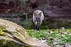 20170402-Mähnenwolf, Tiergarten Nürnberg-022.jpg (serpentes80) Tags: mähnenwolf tiere tiergartennürnberg