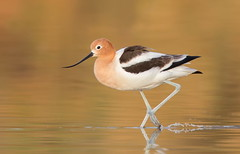American Avocet (mandokid1) Tags: canon canon500f4 1dx birds arizona