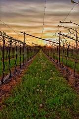 Tra le vigne di Pastrengo (leonardogiangori) Tags: garda adige uva tramonto verona vinitaly bardolino vigna pastrengo