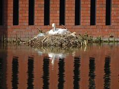 broedende zwaan Deventer (willemalink) Tags: broedende zwaan deventer