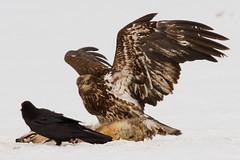 IMG_6428A Stay clear! (cmsheehyjr) Tags: cmsheehy colemansheehy nature wildlife eagle baldeagle jacksonhole grandtetonnationalpark wyoming snow haliaeetusleucocephalus