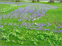 Sign of Springtime. (** Janets Photos **) Tags: uk hull eastparkhull publicparks springtime snowdrops crocus flowers plants flora