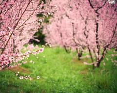plum orchard (L. Grainne) Tags: plumblossoms springflowers pink lupengrainne plum cherry