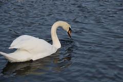 223 (AO'Brien) Tags: arklow wicklow autumn birds swan