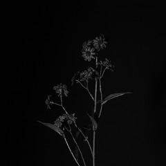 Black Flower 4 (hans.gp.panke) Tags: flower black blackflower bw artificial bnw