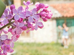 Lilas (marysaesteban) Tags: lilas 7dwf flowers lilac oleaceae oleáceas syringa vulgaris springtime primavera