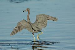 Wing walking (ChicagoBob46) Tags: littleblueheron blueheron heron bird jndingdarlingnwr florida sanibelisland nature wildlife