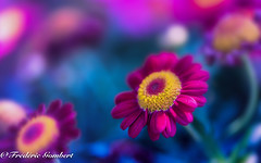 some light (frederic.gombert) Tags: flower flowers red yellow color garden spring macro nikon light sunlight ray sunray
