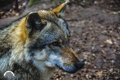 (Grille1991) Tags: pentax pentaxk3 k3 pentaxart pentaxlife twop theworldofphotography wolf animal lightroom forrest natur carnivor carnivore beauty wolfcenterdörverden wild wölfeindeutschland niedersachsen canislupuslupus
