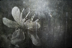 Midsummer night´s  dream.... (Ilargia64) Tags: abstract fineart midsummernight´sdream dream dreamy texture bird flower doubleexposure tale children´stale illustration monochrome blackandwhite amayasanchez