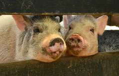 #12/52 - A pair of pigs - 52 in 2017 Challenge (Krasivaya Liza) Tags: 12 1252 pair pairofpigs 52weekschallenge 52in2017challenge pig pigs pigsty serenbe farm animals fence serenbefarm palmetto ga georgia friday fencefriday fences