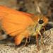 Rural Skipper - Ochlodes agricola, Butterfly Valley Botanical Area, Plumas County, California