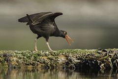 Spread your wings- Oystercatcher Style (Chantal Jacques Photography) Tags: oystercatcher spreadyourwings wildandfree bokeh esquimaltlagoon cryforhelp killdeer depthoffield ridingoncoattails