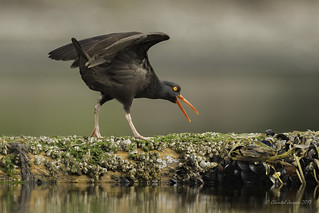 Spread your wings- Oystercatcher Style
