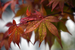 Autumn (glendamaree) Tags: autumn leaves rain nature shapes abstract nikon d750
