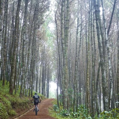 Puncak Bintang's fresh pine forest