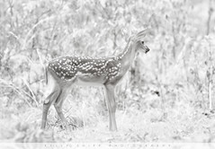"""Spotted"" (KellyShipp) Tags: spotted whitetailed deer fawn arkansas wildlife nature youth blackandwhite sepia nikon nikonflickraward"