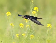 Swallow 1 (Ehtasham ul haq) Tags: swallow bird fly speed watching quetta pakistan nikond7000 action flower