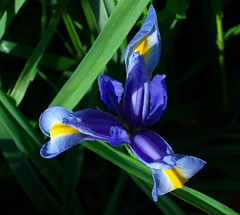 P1100656_TA Iris (blue violet and yellow) (kneo_y) Tags: iris flower blue violet yellow