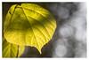 Leaf (leo.roos) Tags: leaf blad leaves bladeren tessar bauschandlombtessaric113mmf45 enlargerlens enlarginglens a7rii day113 dayprime dayprime2017 dyxum challenge prime primes lens lenzen brandpuntsafstand focallength fl darosa leoroos vergroterlens vergrotingslens vergroter enlarger