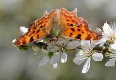 First butterfly this spring! (Comma/gehakkelde aurelia)) (Elisa1880) Tags: gehakkelde aurelia polygonia calbum comma anglewing den haag the hague nederland netherlands nature natuur vlinder butterfly