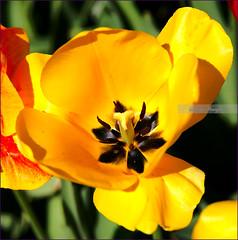 Yellow Tulip (sh10453) Tags: oakpark michigan usa