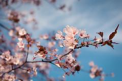 Sakura (anthony_wan) Tags: sakura cherry blossom spring hana hanami flower flowers tree pink sky nature macro bokeh markham ontario canada nikon d5200 afsdxnikkor35mmf18g outdoors 桜 櫻 petal