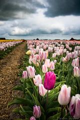 IMG_1888 (Eupeodes) Tags: bloemen bollenveld texel tulpen