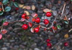 Red berries (maj-lis photo) Tags: berries red bokeh