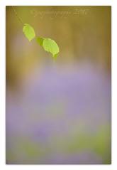 Bluebell Wood (cheffievrs) Tags: 1dx ancientwood ancientwoodland bluebells bokeh borderfx canon ef300mm28lis hyacinthoides leaf nature warwickshire wild wildlife woodland