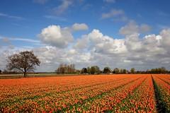 Orange tulips (peeteninge) Tags: orange oranje tulpen tulips flowers flora bloemen flowerfield bollenveld nature natuur agriculture outdoor sonyrx10 sony