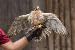 Nelson (ToddLahman) Tags: nelson lannerfalcon falcon frequentflyersbirdshow bird birds birdshow beautiful fly closeup portrait sandiegozoosafaripark safaripark canon7dmkii canon canon100400