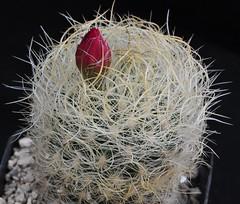 Neoporteria gerocephala (Orkel2012) Tags: cactus neoporteria succulent