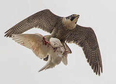 peregrine with prey (Rob Booth Imagery) Tags: