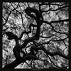 Entangled II (Ilan Shacham) Tags: tree abstract bw blackandwhite entangled limbs haifa israel square menacing curves fineart fineartphotography